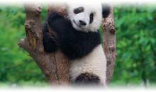china, yangtze y oso panda