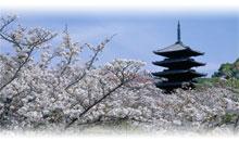 japon sakura: cerezos en flor (con nikko)