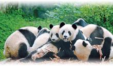 china espectacular y oso panda