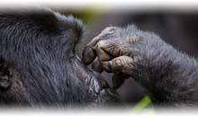 tribus de uganda y chimpancés en la isla de ngamba