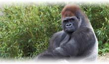gorilas en ruanda